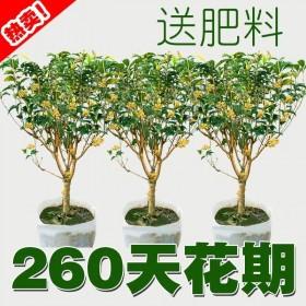 (当年开花)桂花苗树苗沉香八月月桂红金桂四季桂盆栽
