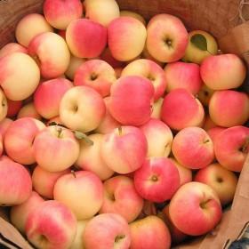 红嘎啦新苹果现摘现发水果旮旯新鲜当季10斤