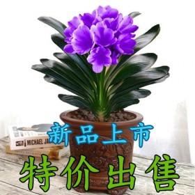 精品君子兰盆栽花卉包成活室内绿植办公室高 档花卉送