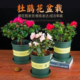 杜鹃花盆载 花卉室内花庭院阳台四季开花盆景植物