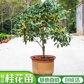 桂花树苗盆栽客厅庭院种植浓香型四季开花植物金桂四季