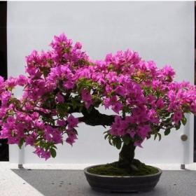 4年苗一颗 三角梅花苗盆栽花卉四季开花重瓣