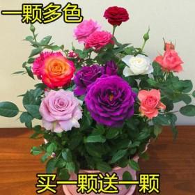 两颗多色嫁接玫瑰花苗四季开花客厅室内外月季花苗盆栽