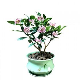 金边瑞香盆栽老桩浓香型花卉植物室内花