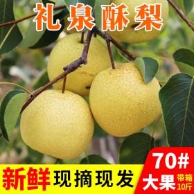 现摘水果梨 新鲜10斤装 脆甜梨带箱批售包邮酥梨雪