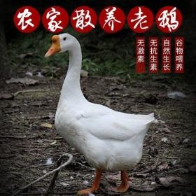 农家散养杀完6斤新鲜大鹅鹅肉鹅掌大白鹅活冷冻老鹅