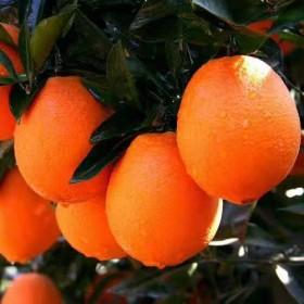 江西赣南土特产赣南脐橙橙芯橙意果业10斤装