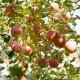 糖心苹果孕妇新鲜甜脆冰糖心丑苹果水果9.5-10斤  2460385