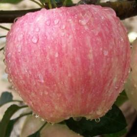 10斤红富士苹果新鲜脆果园直发冰糖心苹果
