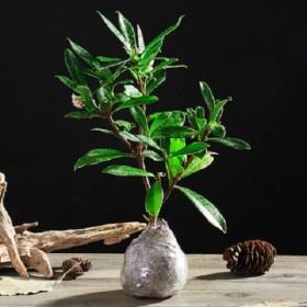 金边瑞香耐寒花卉植物室内花冬季开花浓香型观花盆栽四
