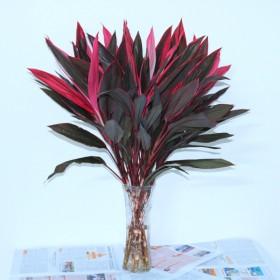 富贵竹转运竹龙竹水培植物观音竹招财竹室内水养盆栽红