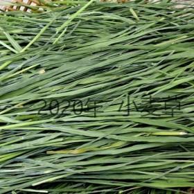 供应直销土特产新鲜小麦草龙猫兔子荷兰猪牧草现割现装