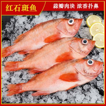 红石斑鱼10斤鲜活整条冷冻野生大龙胆鱼富贵鱼深海鱼