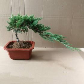 盆景迎客松实拍室内植物松树盆景盆栽