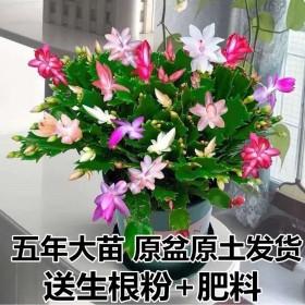 蟹爪兰花苗带根多色花卉植物室内绿植四季开花多肉可嫁