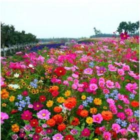 波斯菊格桑花野花组合四季播花卉草种子