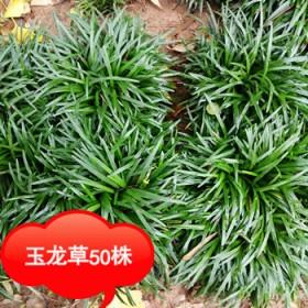 别墅庭院种植盆栽用日本麦冬草玉龙草四季常绿永不长高