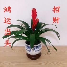 鸿运当头红色多扇花卉盆栽客厅招财开业送礼绿植好养活