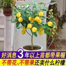 3年苗 四季香水柠檬苗树苗绿植盆栽室内阳台庭院植物