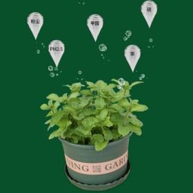 薄荷盆栽植物新鲜大叶可食用