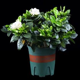 栀子花盆栽带花苞四季易活花卉室内室外庭院易活开花