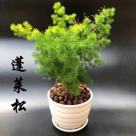 蓬莱松盆栽生肖猴发财树植物室内净化空气绿植花