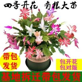 四季开花蟹爪兰花苗盆栽带花苞大苗冬季花卉室内植物兰