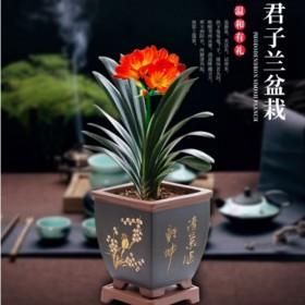 【原盆原土包活】精品君子兰盆栽花苗四季开花绿植物室