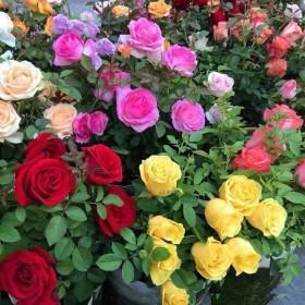玫瑰花苗四季开花大花月季花苗室内阳台庭院绿植花卉