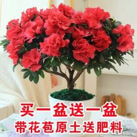 【带花苞原土发货】杜鹃花苗盆栽花卉植物室内外客厅阳