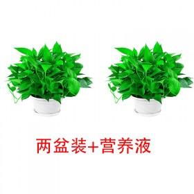绿萝盆栽室内长藤垂吊花卉植物吊兰客厅吸甲醛水培大叶