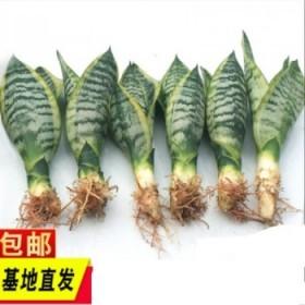 3颗 金边虎皮兰新房吸甲醛多肉植物防辐射