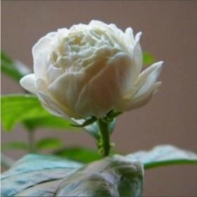 盆栽双色茉莉花苗重瓣花卉阳台室内庭院绿植