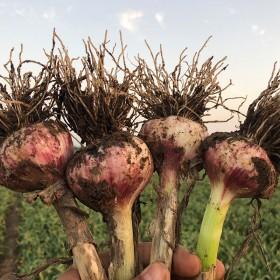 5斤 山东金乡大蒜现挖新鲜紫皮鲜蒜大蒜头腌制糖醋蒜