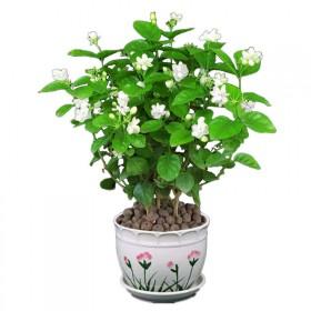 2年苗  茉莉花盆栽 双色重瓣花卉阳台室内庭院绿植