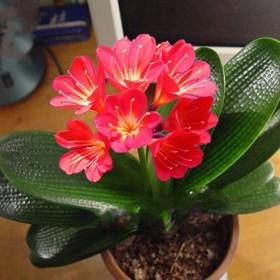 【带盆栽好发货 包活】君子兰花苗盆栽四季开花绿植物