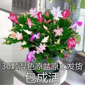 蟹爪兰盆栽大苗带根室内阳台绿植植物花卉四季开花