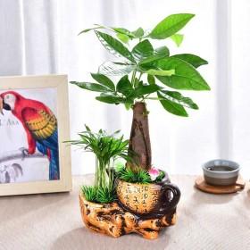 发财树盆栽客厅花卉绿植室内招财水培绿色植物桌面办公