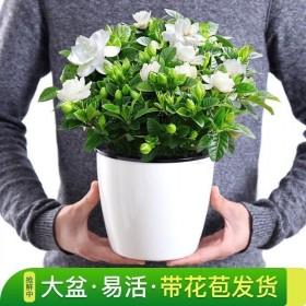 栀子花带吸水盆栀子花盆栽栀子花苗绿植带花苞多肉
