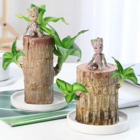 【巴西木四件套】幸运木格鲁特绿植盆栽