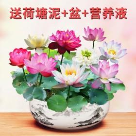 【遇水即活】碗莲种子水培植物室内绿植盆栽