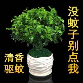 盆栽植物好养室内净化空气吸甲醛驱蚊绿植四季常青