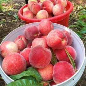 【精选5斤】选现货水蜜桃新鲜水果净果5斤整箱