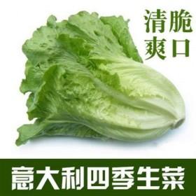 1000粒四季奶油生菜种子可阳台盆栽蔬菜种籽农家