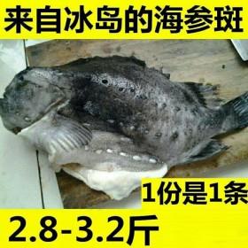 冰岛海参斑去内脏3斤2两新鲜生鲜野生冷冻海鲜石斑鱼