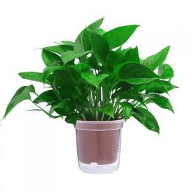 绿萝盆栽发财树栀子花盆栽懒人红掌榕树碧玉室内水培植