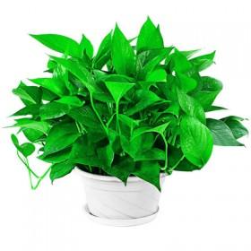 绿萝盆栽室内吸除甲醛