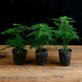 3盆 文竹盆栽好养防辐射植物室内绿植