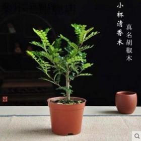 清香木盆栽驱蚊草绿植植物室内四季