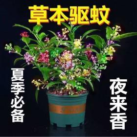 【草本驱蚊】夜来香盆栽花苗室内阳台清香木绿植九里香